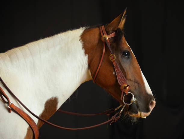 pinto cowboy horse studio shot low key - horse bit stock pictures, royalty-free photos & images