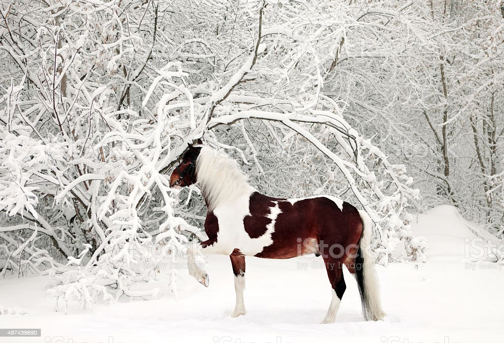 Pinto gypsy vanner horse in the snowy woods stock photo