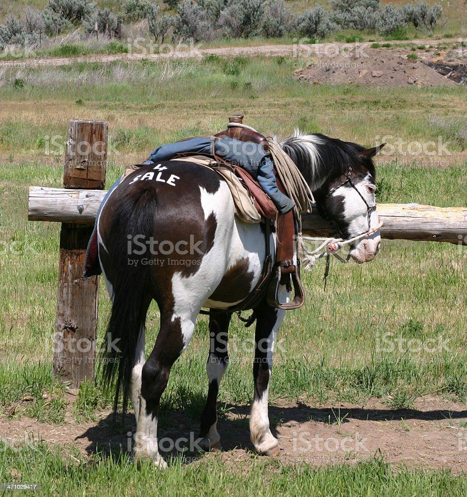 Pinto Horse 4 Sale stock photo