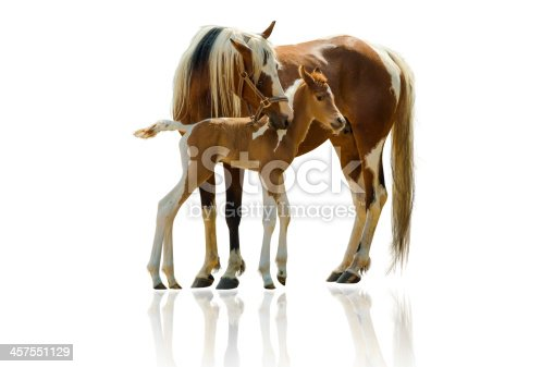 Pinto Arabian mare and her foal - about 24 hours old