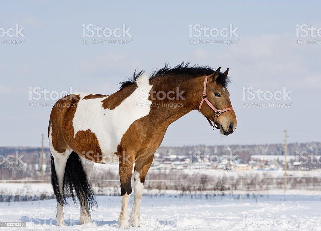 pinto horse stock photo