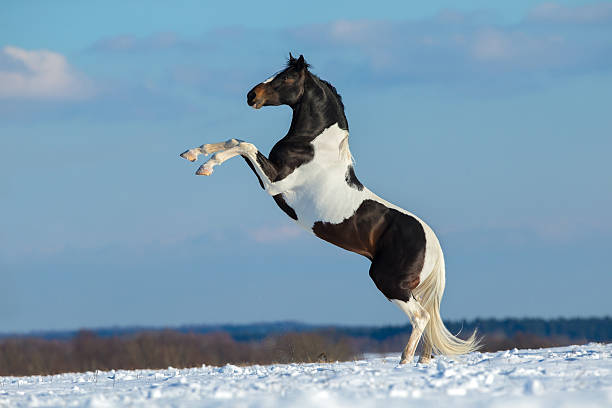 Pinto horse stand up on winter background. http://s019.radikal.ru/i600/1204/bb/5d41035f432c.jpg paint horse stock pictures, royalty-free photos & images
