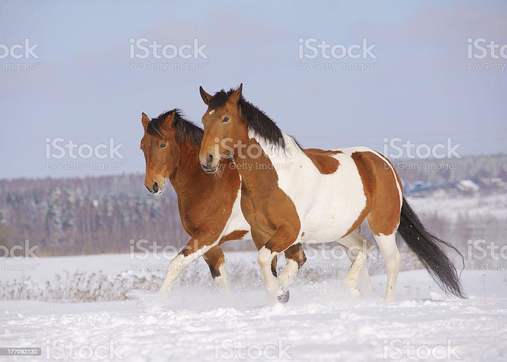 pinto horses stock photo