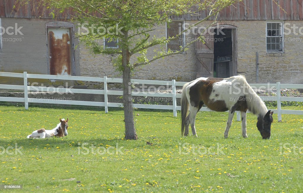 Pinto Mare and Foal royalty-free stock photo