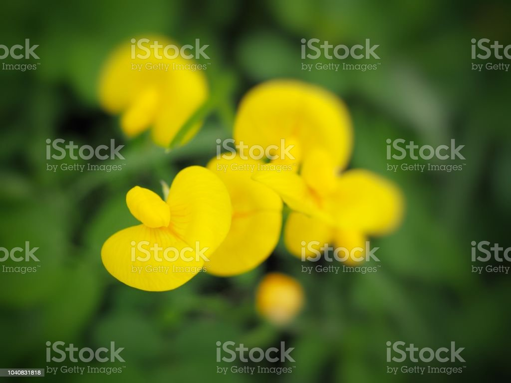 Pinto Peanut And Scientific Name Arachis Pintoi Yellow Flowers
