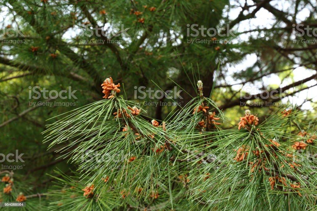 Pinus densiflora flower, stock photo