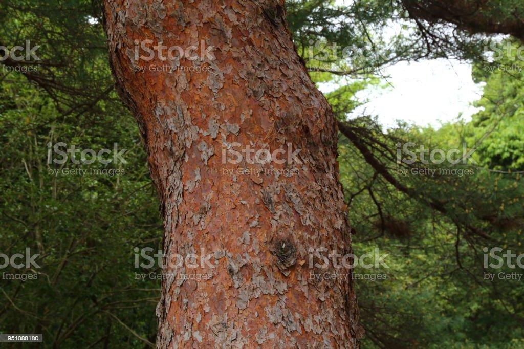 Pinus densiflora stock photo