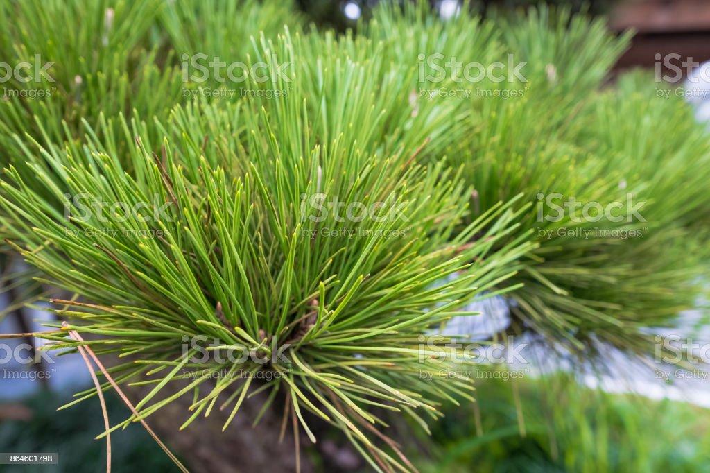 Pinus kesiya, Khasi pine, Benguet pine or three-needled pine stock photo