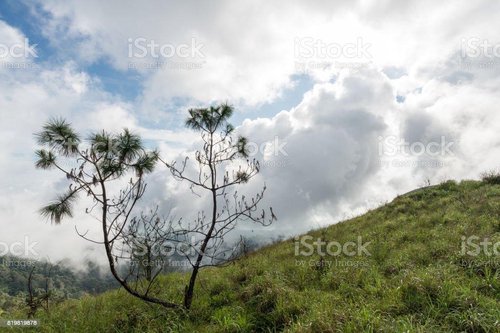Pinus Kesiya stock photo