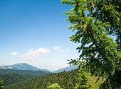 Pinus lambertiana or sugar pine in the Carpathian Mountains of Romania. Pine cones in a tree