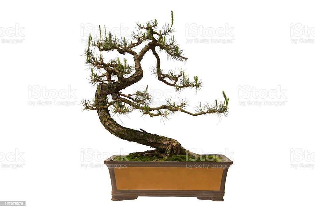 Pinus massoniana bonsai – Foto