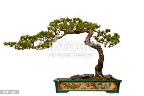 A Pinus massoniana bonsai in a ceramic pot. Isolated on a white background - Pinus massoniana (English: Masson's Pine, Chinese Red Pine, Horsetail Pine) is a species of pine.