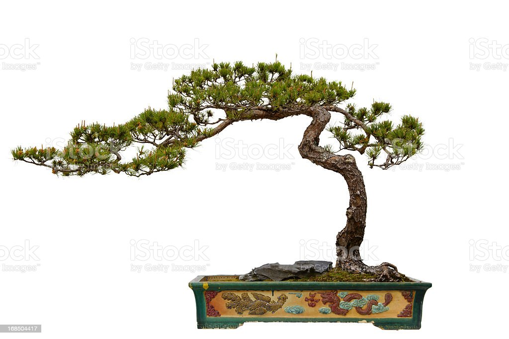 Pinus massoniana (Masson s Pine) bonsai - Photo