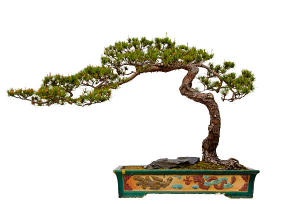 Pinus massoniana (Masson s Pine) bonsai - Photo