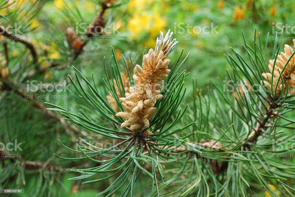 Pinus mugo bloom. royalty-free stock photo