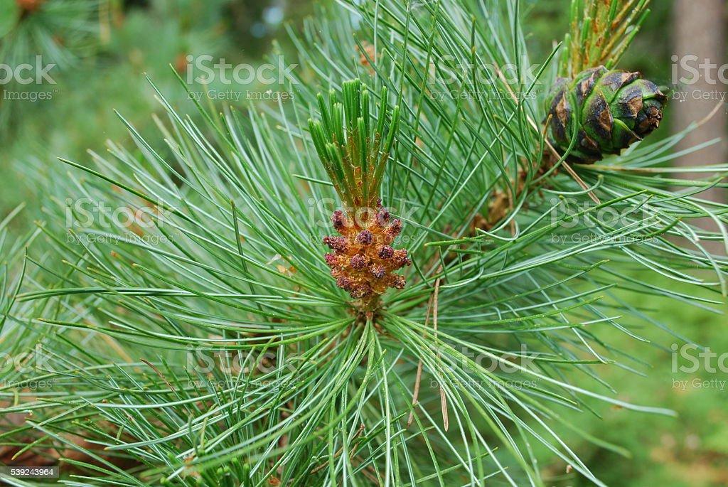 floración Pinus mugo. foto de stock libre de derechos
