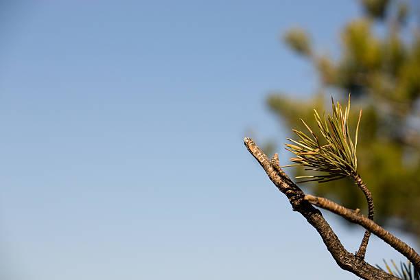 Pinus Mugo Branch with Blue Sky Background stock photo