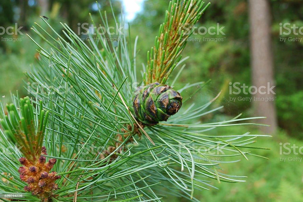 Pinus mugo cono en La branch. foto de stock libre de derechos