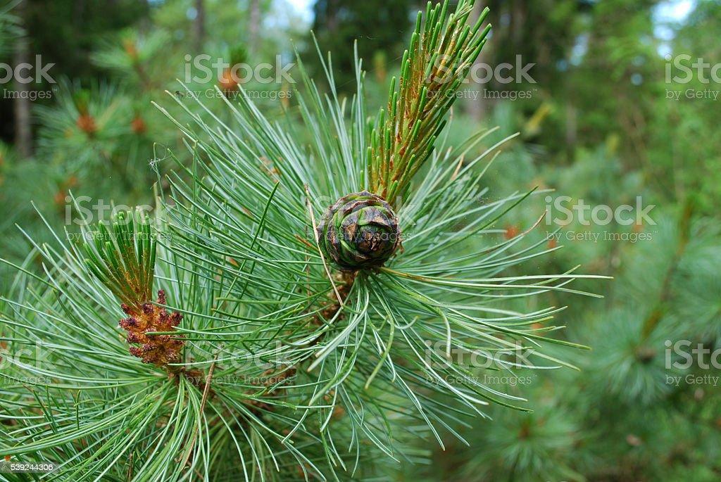 Pinus mugo cone on the branch. royalty-free stock photo