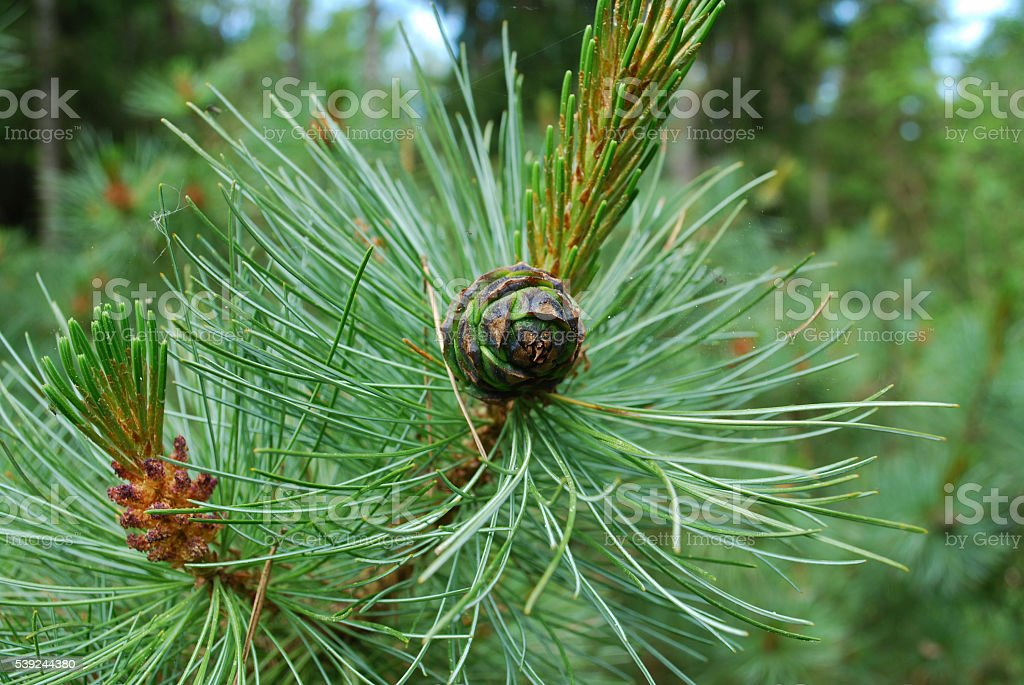 Pinus mugo cone on the branch. royalty-free stock photo
