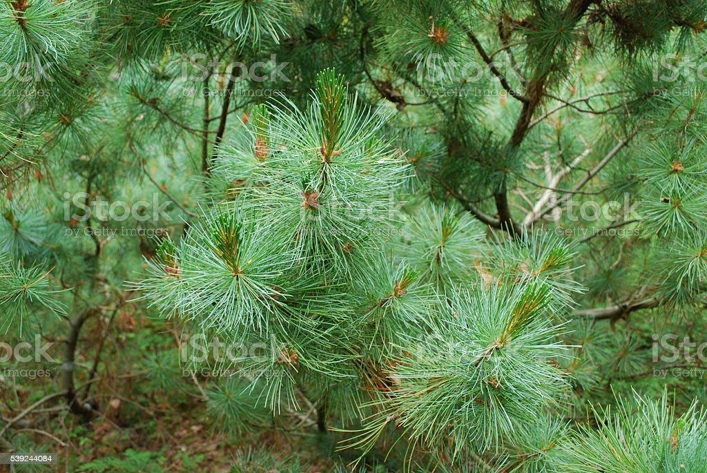 Pinus mugo. foto de stock libre de derechos