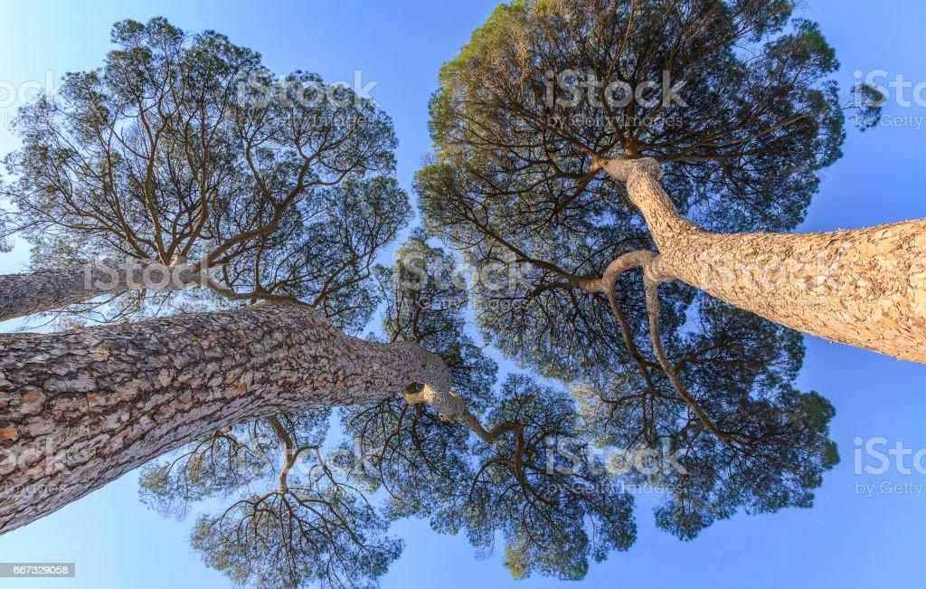 Pinus pinea growing on the territory of Italy stock photo
