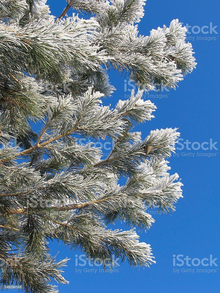 Pinus silvestris covered with hoar-frost royalty-free stock photo