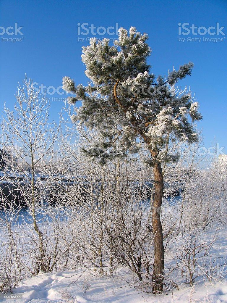 Pinus silvestris under the snow stock photo
