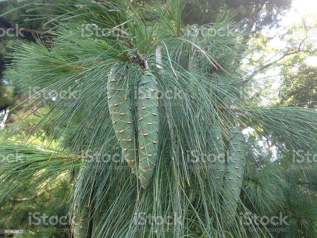 Pinus Strobus Árbol Rama Con Conos - Fotografía de stock y más ...