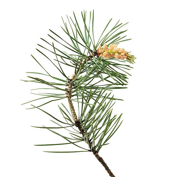 pinus sylvestris branch - fur bildbanksfoton och bilder