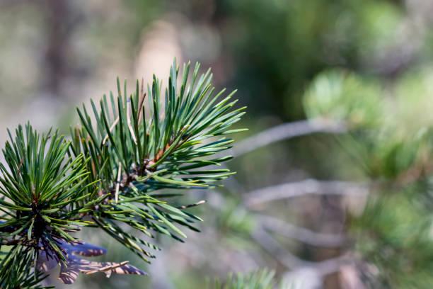 Hojas de aguja de Pinus sylvestris. - foto de stock