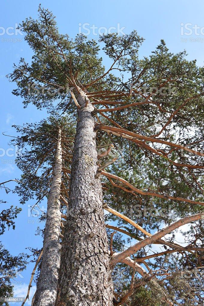 Pinus sylvestris - Scots pine trees stock photo