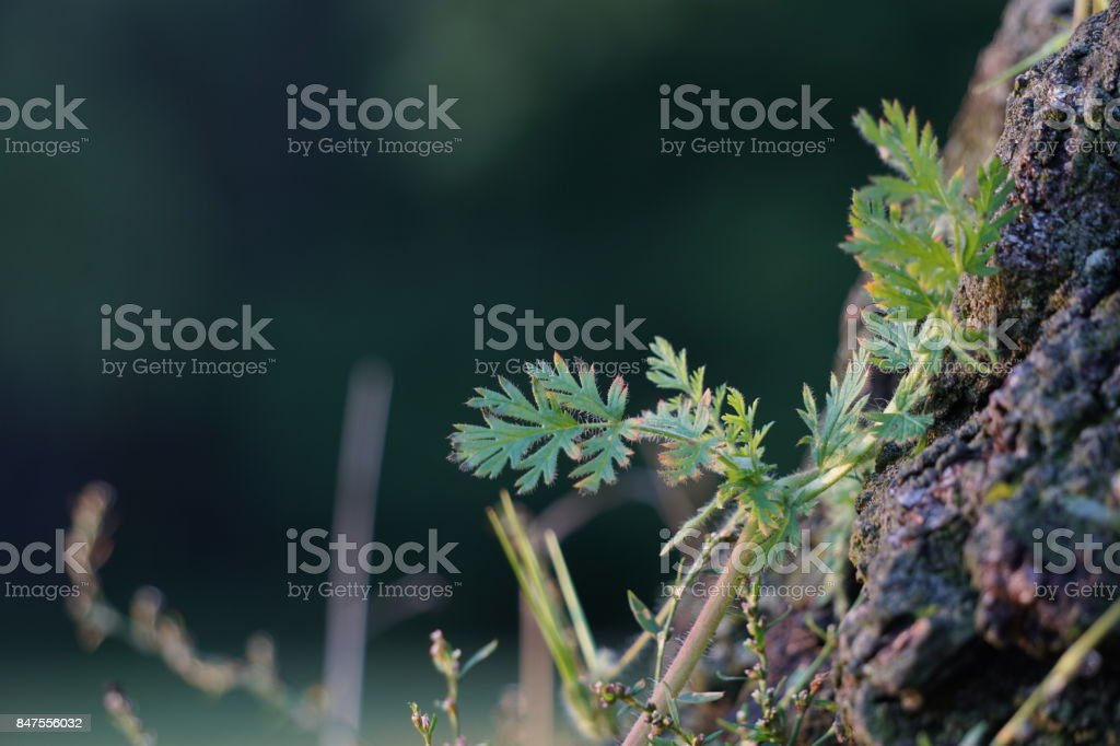 Pinweed leaves on a tree stump stock photo