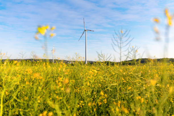 藍色天空的油菜田上的風車 - 氣候 個照片及圖片檔