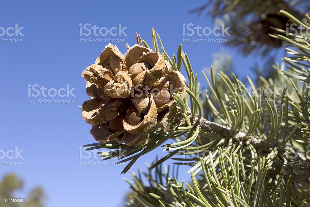 Pinyon Cone with Pine Nuts stock photo