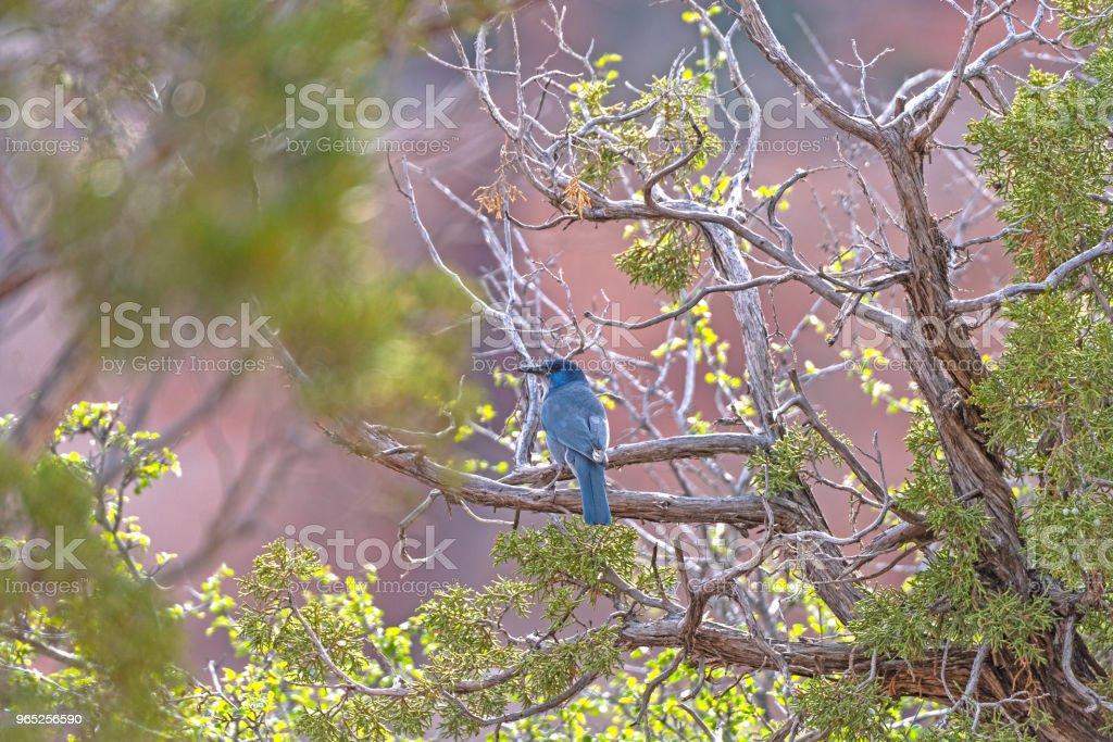 Pinyon Jay in a Desert Canyon zbiór zdjęć royalty-free