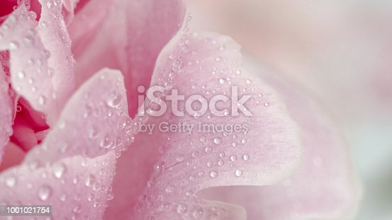 Extreme close up view of piony. Flower petals of piony with dew. Copy space for text. Beautiful piony with water drops. Banner. Can use as natural pattern background for design, social media
