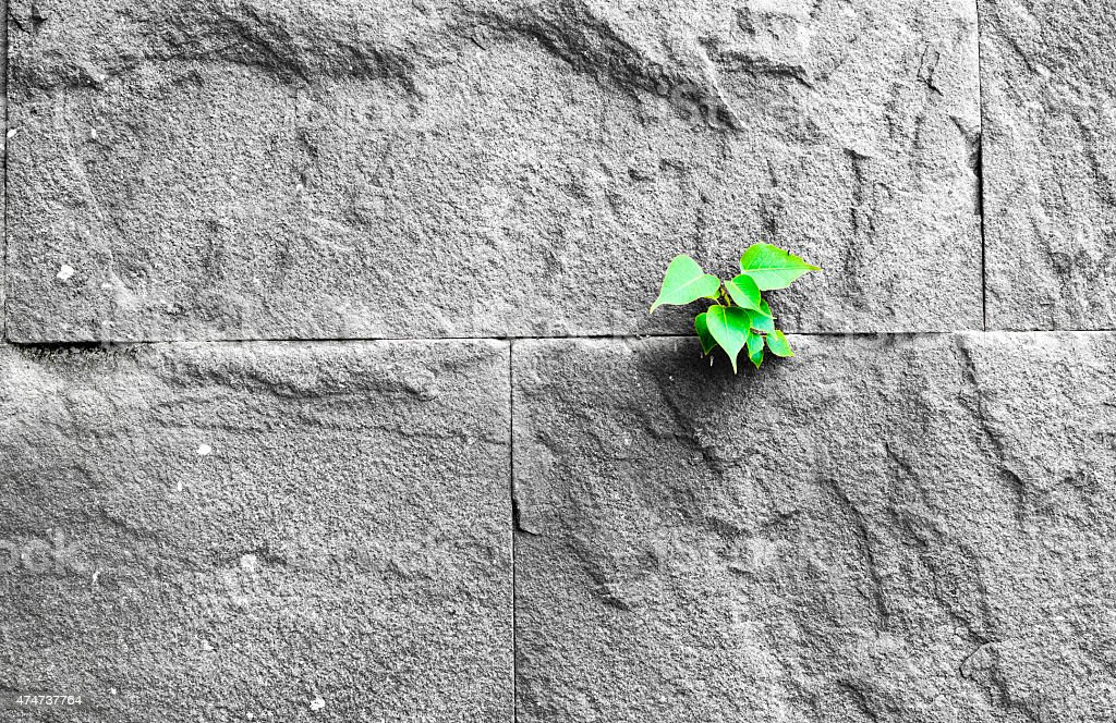 pipal leaf growing through crack in old sand stone wall stock photo