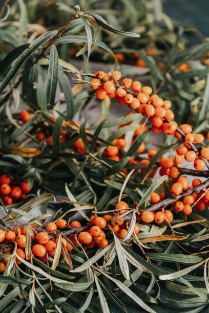Pipe sea buckthorn berries on a branch with leaves on sackcloth rag over dark green concrete background. stock photo