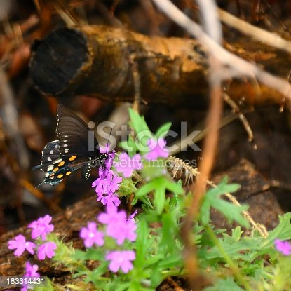 Just a species shot of a Pipeline Swallowtail feeding on some variety of a Phlox wildflower