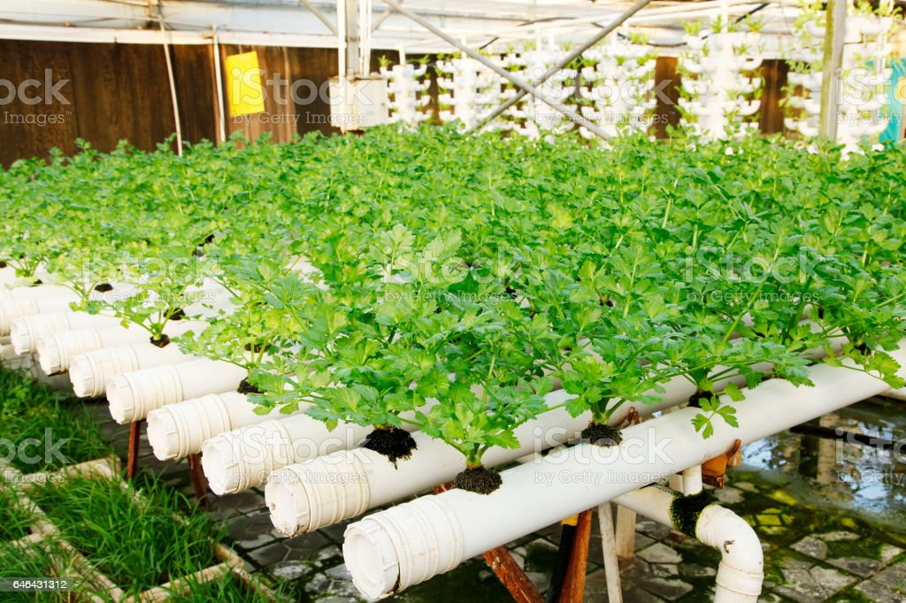 Pipelining cultivation of celery stock photo