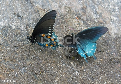 Pair of Pipe vine, Swallowtail Butterflies, on wet rock, engaging in what is known as