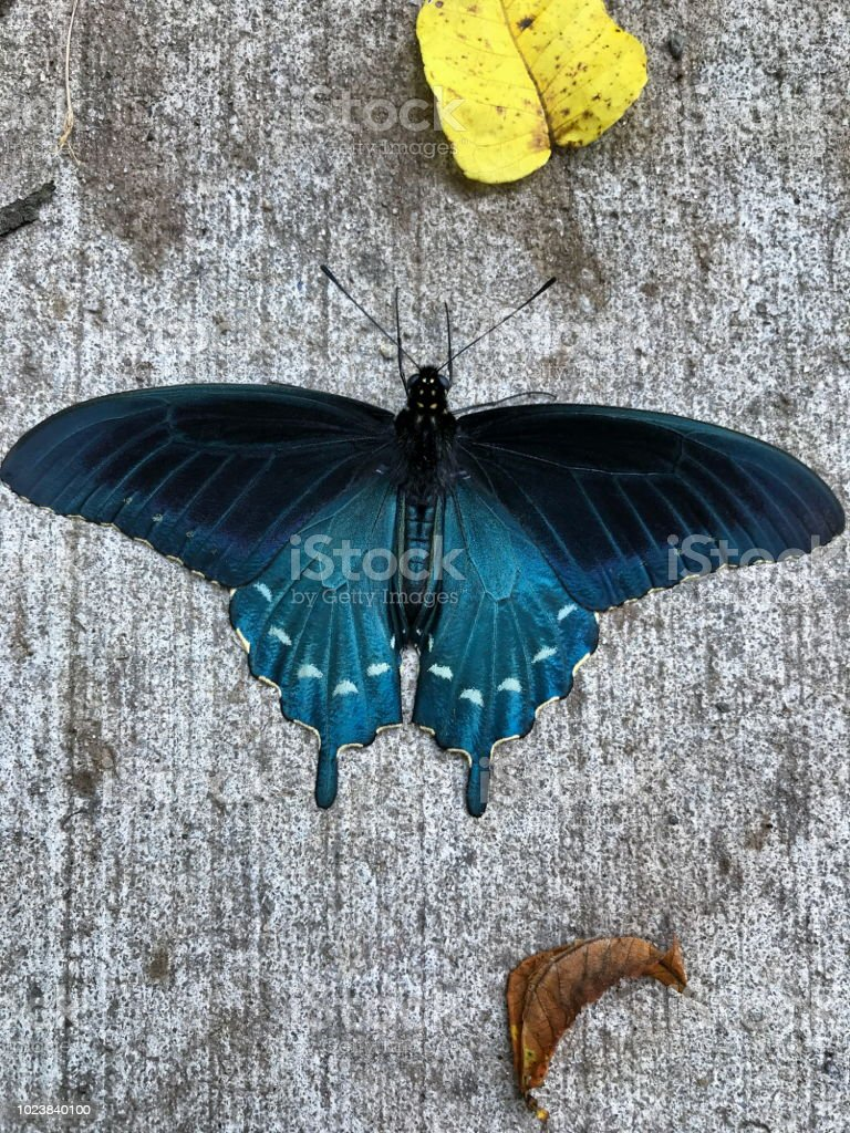 A Pipevine Swallowtail Butterfly on a sidewalk. stock photo