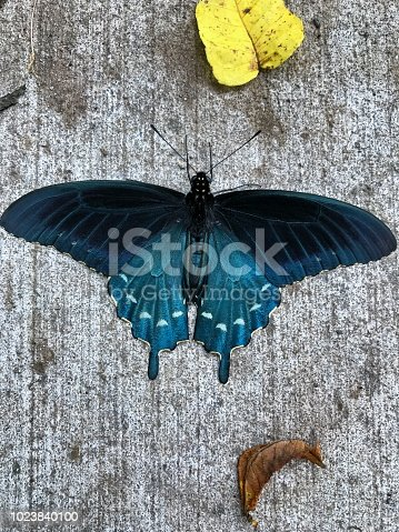 A Pipevine Swallowtail Butterfly On A Sidewalk Stock Photo & More Pictures of Animal