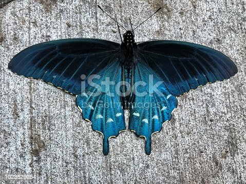 Pipevine Swallowtail  wings fully spread on a sidewalk from above found in Cherokee, NC taken with an Iphone 7.