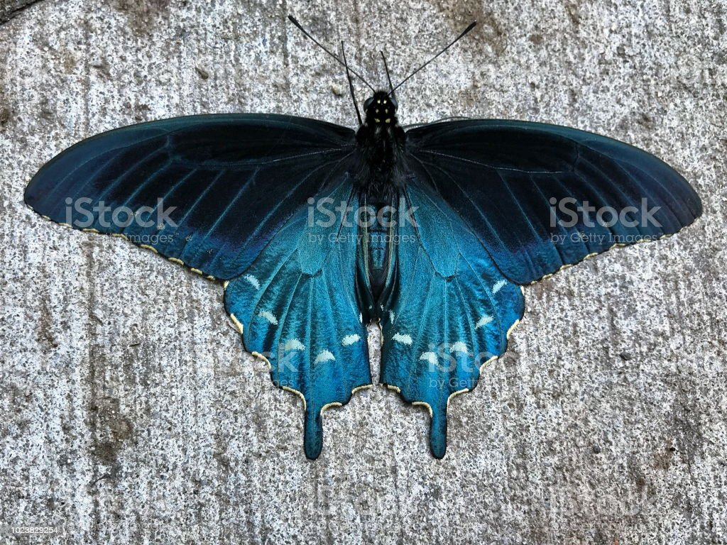 A Pipevine Swallowtail Butterfly stock photo