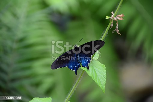 Iridescent blue and black swallowtail butterfly
