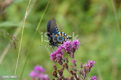 A pipevine swallowtail butterfly in Yellowwood State Forest.