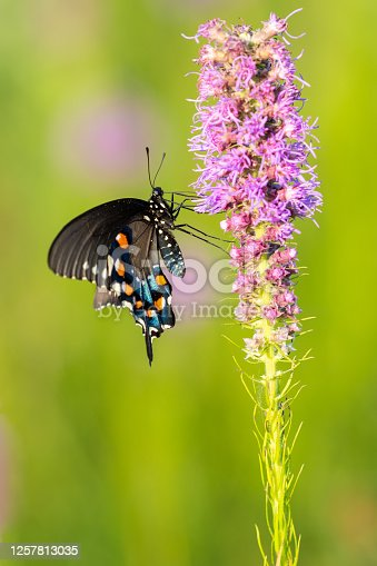 This beautiful Pipevine Swallowtail was photographed on a gayfeather at a tallgrass prairie in Arkansas.