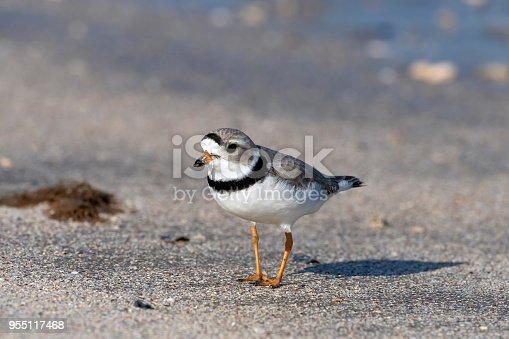 A Piping Plover (Charadrius melodus) on the beach on Bolivar Peninsula, east Texas.
